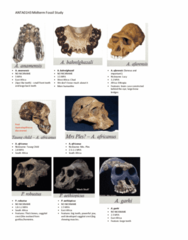 ANTA01H3 Study Guide - Midterm Guide: Sahelanthropus, Taung Child, Australopithecus