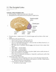 PSYC 3530 Chapter Notes -Superior Temporal Sulcus, Inferior Temporal Gyrus, Calcarine Sulcus
