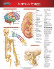 Permachart - Marketing Reference Guide: Medulla Oblongata, Infrahyoid Muscles, Pharyngeal Muscles
