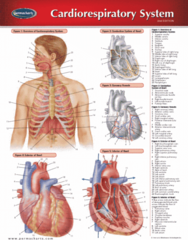 Permachart - Marketing Reference Guide: Pulmonary Vein, Middle Cardiac Vein, Great Cardiac Vein