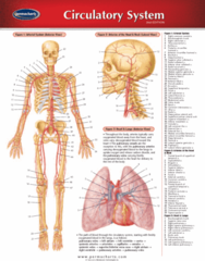 Permachart - Marketing Reference Guide: Superficial Palmar Arch, Costocervical Trunk, Thyrocervical Trunk