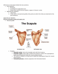 KINESIOL 1A03 Lecture Notes - Lecture 25: Coracoid Process, Humerus, Clavicle