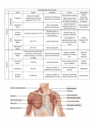 Health Sciences 2300A/B Study Guide - Final Guide: Pectoralis Major Muscle, Pectoralis Minor Muscle, Levator Scapulae Muscle