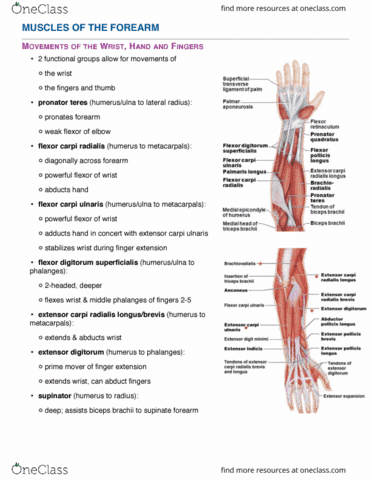 Anp1106 Lecture 8 Topic 5b Anatomy Of The Muscular System Oneclass