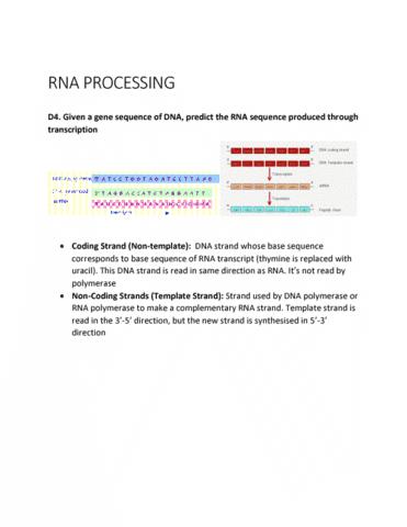BIOL 2905 Midterm: TEMPLATE VS NONTEMPLATE STRANDS - OneClass