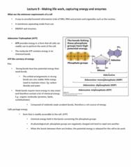 BIOA01H3 Lecture Notes - Lecture 9: Adenosine Triphosphate, Chemotroph, Phototroph