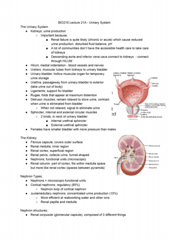 BIO210Y5 Lecture 29: BIO210 Lecture 21A - Urinary System - OneClass