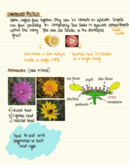 BIOL 2043 Lecture Notes - Lecture 3: Asteraceae, Meiosis, Zygote
